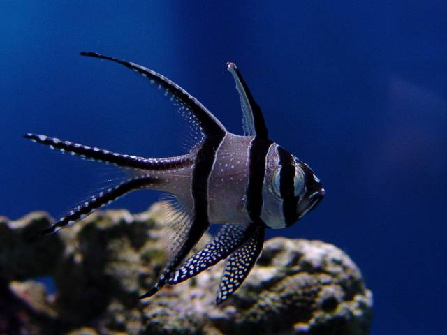 White fish with black strips